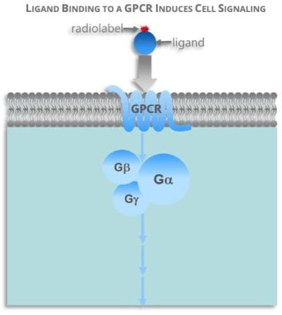Ligand binding to a GPCR induces cell signaling - image